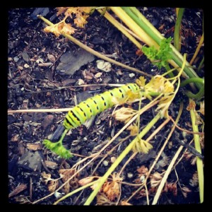 caterpillarone